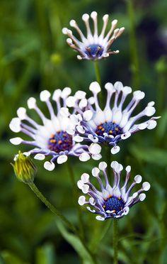 ~~Whirligig daisies | Osteospermum by agladschtein~~