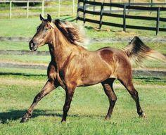 Rocky Mountain Horse gelding RRF's Block Buster. photo: Daniela Snyder.