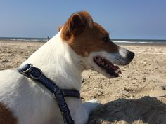 Louis Jack Russell Terrier   Pawshake
