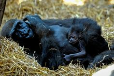 Newborn baby gorilla at Chessington Zoo pics and video - AOL Travel UK