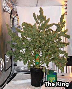 Dutch Passion Auto Mazar cannabis plant produces over 30 ounces of bud