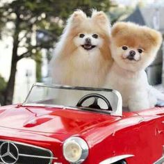 "Boo and Buddy are both Pomeranian dogs, but Boo is known as ""the world's most famous dog"" – ""the world's cutest dog"" – and ""Boo the teddy bear dog Boo The Cutest Dog, World Cutest Dog, Cutest Dog Ever, Cute Dog Photos, Cute Puppy Pictures, Dog Pictures, Baby Animals, Funny Animals, Cute Animals"