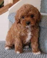 cavoodle puppies, adorable teddies. Mum is miniature