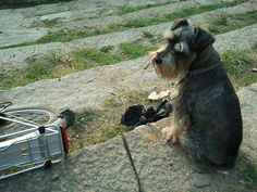 I inherited a black mini-schnauzer in 2001. Sasha was sweet but pretty high strung, having grown up as my aunt's 'only child' on Manhattan's Upper East Side.