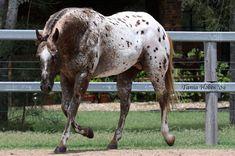My Horse, Horses, Appaloosa, Painting, Animals, Animales, Animaux, Painting Art, Paintings