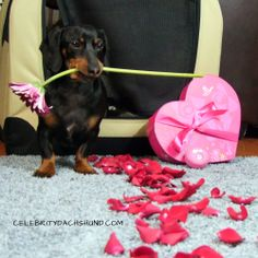 Crusoe the romantic http://www.celebritydachshund.com/2013/10/03/10-things-you-didnt-know-about-dachshunds/