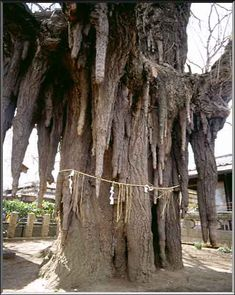 Looks like icicles or stalactites. Honshu, Japan, 1000 years old This ancient Ginkgo Tree is worshiped as a god. A shimenawa (rice string) is bound to the huge trunk. Giant Tree, Big Tree, Trees And Shrubs, Trees To Plant, Weird Trees, Old Trees, Unique Trees, Tree Trunks, Nature Tree