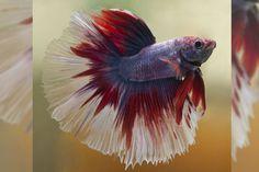 beta fish | Pets to Get! | Elizabeth Street