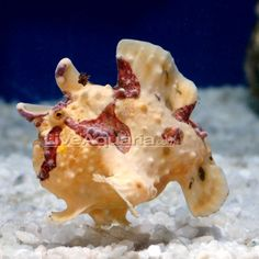 1000 images about nano tanks on pinterest saltwater for Angler fish pet