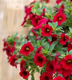 LIKE A TINY PETUNIA ON STEROIDS, MILLION BELLS (Calibrachoa) grows and flowers at an amazing rate. Often confused for a petunia, million bells makes a splash no matter where you put it in the garden. It is perfect for containers or hanging baskets but also can be tucked into the front of a border where it will spill out onto sidewalk or patio. It may be the ultimate spiller for container gardens as long as you give it ample water and fertilizer, to fuel its astounding growth.