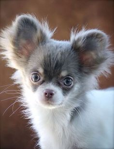Chihuahuas are excellent pets, but a dog owner must bear in mind that the Chihuahua lifespan is shorter compared to human lifespan. That said it is important that the owner to make sure that his/her Chihuahua has a long and happy life. Fluffy Puppies, Cute Puppies, Cute Dogs, Dogs And Puppies, Doggies, Puppies Tips, Awesome Dogs, Funny Dogs, Small Puppies