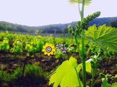 Sui filari l'uva si prepara già all'estate... Guardate che meraviglia questa immagine! E guardate madre natura che lavoro immenso compie!  Ringraziamo Tenuta di Cispiano (Castellina in Chianti - Siena) per aver condiviso con noi la foto!    Vista l'ora amici, BUON APPETITO :-)