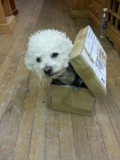 A Bichon in a Box - Rufie the bichon Bichon Dog, Maltese Puppies, Cute Puppies, Cute Dogs, God Pictures, Funny Dog Pictures, Animals Beautiful, Cute Animals, Puppys