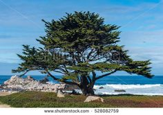 A lone Monterey Cypress tree (Cupressus macrocarpa) stands along the beach (down on Oceanview past 17 mile drive)