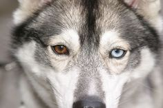 Can I have a husky with different color eyes? Please?
