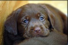 David REALLY wants a dog, a lab to be exact...and I told him it has to be a chocolate lab. Isn't it SO cute??