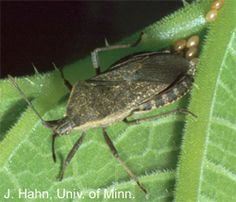 """controlling squash bugs: place boards or shingles on the ground next to the plants. At night the squash bugs will aggregate under the boards and can then be destroyed each morning."""