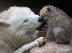 une louve jouant avec son louveteau âgé d'un mois, au zoo de Berlin.