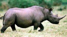 No obstante que la ciencia médica ha demostrado que el cuerno de rinoceronte no cura el cáncer, hay mucha gente con dinero que cree que sí lo cura y está dispuesta a pagar hasta 30.000 dólares para conseguirlo. El resultado: Un aumento en la masacre de este animal en peligro de extinción y una clase de cazador furtivo cada vez más sofisticada. + info: http://www.ecoapuntes.com.ar/2012/12/dinero-e-ignorancia-son-mayor-amenaza-a-especies-en-peligro-de-extincion/