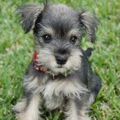 Would you be willing to play with this Schnauzer?