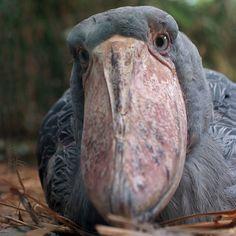 shoebill closeup