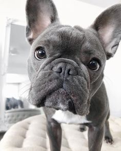'design french bulldog' by Bulldog Wallpaper, Cute Puppy Wallpaper, Cute Puppies And Kittens, Cute Dogs, French Bulldog Puppies, French Bulldogs, Puppy Pictures, Funny Animal Pictures, Cute Baby Animals