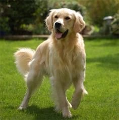 """Click visit site and check out Cool """"Golden Retriever"""" t-shirts. This website is…"""