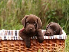 Cute Chocolate labs