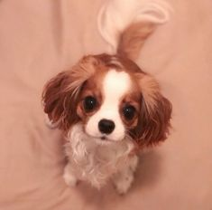 Probably the tiniest cavalier puppy who is taking the internet by storm with nothing else but his cuteness. Cute Baby Dogs, Cute Little Puppies, Cute Dogs And Puppies, Cute Little Animals, Doggies, Cavalier King Spaniel, Cavalier King Charles Dog, King Charles Spaniels, King Charles Puppy