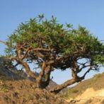 Dossier sur l'huile essentielle d'encens ou oliban: propriétés, utilisations et formulations santé et bien-être