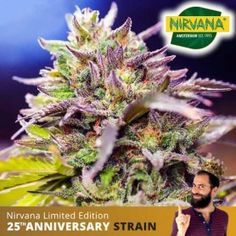 Nicole x Banana OG Feminized Buy Cannabis Seeds, Weed Seeds, Fruit Garden, South Africa, Berries, Things To Come, The Incredibles, Outdoor, Outdoors