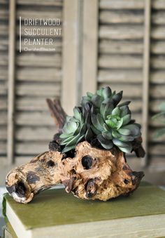 Use a piece of driftwood to create this gorgeous Driftwood Succulent Planter