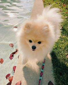 "@mochi.pomeranian ""Winter? What's that? ☀️❄️"""