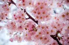 Les+cerisiers+du+Japon+sont+en+fleurs
