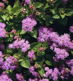 Flossflower (Ageratum) mosquito plant
