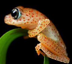 Polk-a-dot frog (Boophis sp.)