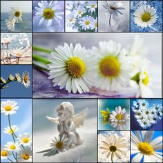 Oxeye Daisy - montage