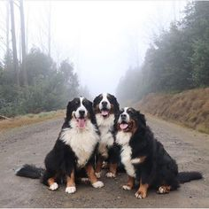 Everything You Want To Know About Bernese Mountain Dog - DOGBEAST-- Bernese Mountain Dog breed information including pictures, characteristics, training, behavior, and care of Bernese Mountain Dogs. Burmese Mountain Dogs, Swiss Mountain Dogs, Cute Puppies, Cute Dogs, Dogs And Puppies, Doggies, Dog Pitbull, Mountain Dog Breeds, Animals And Pets