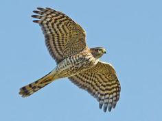 Bombay Hook, DE on 01-23-21 Hawk Identification, Types Of Hawks, Cooper's Hawk, Hawk Tattoo, Flight Feathers, Hawk Photos, List Of Birds, Coloured Feathers, Red Tailed Hawk