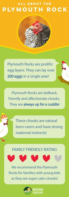 Plymouth Rock chooks are a friendly breed that enjoy human interaction and make great family pets! Check out their breed profile here, http://www.backyardchickencoops.com.au/barred-plymouth-rock/ #loveyourchickens #infographic #plymouthrockchickens