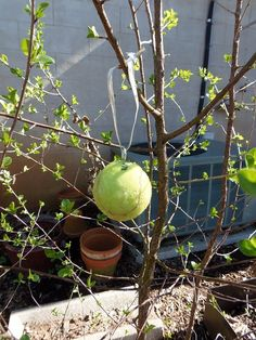 Cheap Organic Pest Control for Fruit Trees - this simple trick will protect your trees from codling moths