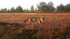 Ein Wolf läuft über ein Feld in der Lüneburger Heide.  © Stiftung Naturschutzpark Lüneburger Heide Fotograf: Steffen Albers
