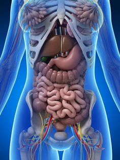 Illustration about rendered illustration of the female anatomy. Illustration of lungs, anatomy, anatomical - 30725878 Human Anatomy Art, Human Anatomy And Physiology, 3d Anatomy, Science Images, Science Quotes, Human Digestive System, Human Body Organs, Medical Anatomy, Muscle Anatomy
