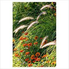 pennisetum setaceum kupfer' and zinnia angustifolia 'profusion orange'