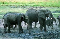 African Elephants, Botswana - Travel Photos by Galen R Frysinger, Sheboygan, Wisconsin