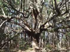 Live Oak - sitting under a tree like this is great for the Root Chakras! (photo by Denise Patrick) Usui, Chakra Healing, Chakras, Holographic, Reiki, Helping People, Live, Chakra