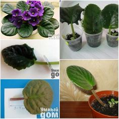 Thou Shalt (TRY VERY HARD) Not to Kill {African Violets