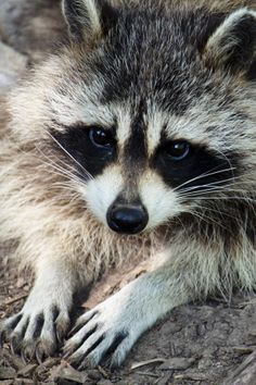 images of animals except dogs and cats | Racoon | Animals : ALL animals except dogs,cats,sloths