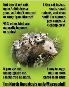 Nature's own Pest Control! Opossum: Nature's own Pest Control! Beautiful Creatures, Animals Beautiful, Unusual Animals, Baby Possum, Animals And Pets, Cute Animals, Pretty Animals, Nature Animals, Wild Animals
