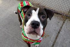 MONYA - A1041636 - - Manhattan  Please Share:TO BE DESTROYED 12/29/16: ****PUBLIC ADOPTABLE**** A volunteer writes: Joining us with the outstanding resume of a family dog, Monya continues to impress with her friendly personality and good will towards other dogs. In playgroup, she's social and bouncy with both males and females. Pretty Miss Monya was surrendered to our care as her owner had 'no time' for her. We're told that she lived with multiple ch